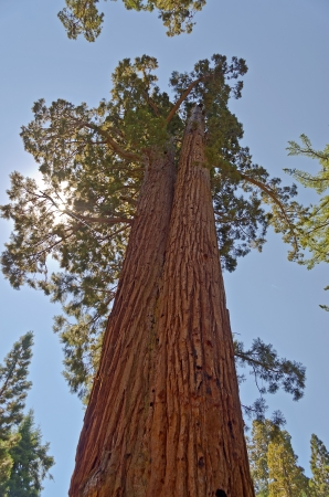 Sequoias gigantes en el Parque Nacional Yosemite, California photo