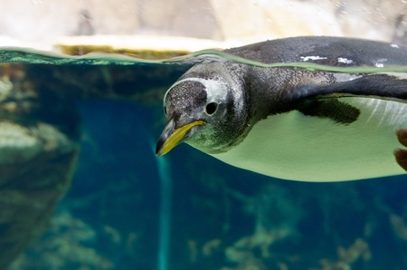 Penguin floating underwater, Genoa Aquarium, Italy photo