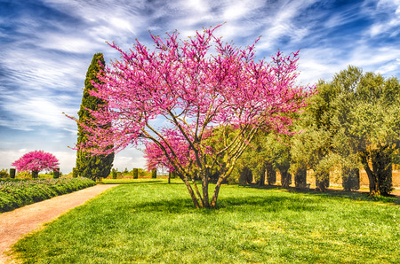 Beautiful Italian Garden with flowered cherry trees, cypresses and olive trees