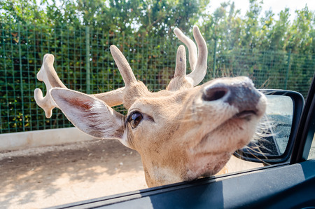 deer  spot: Hungry deer waiting for food through a car window. Focus spot on the deers eye