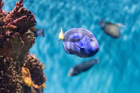 Closeup of a Paracanthurus hepatus, a species of surgeonfish, aka regal blue tang, as seen in aquarium environment. Children use to call it Dory, due to a very popular animation movie Stock Photo