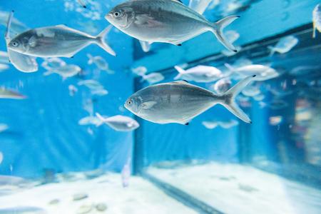 Poissons dans l'environnement de l'aquarium. Peut être utilisé comme arrière-plan