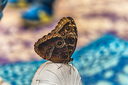 Morpho peleides, aka Peleides blue morpho or common morpho is a tropical butterfly. Here showing underside of its wings, while standing on the top of a shoe Stockfoto