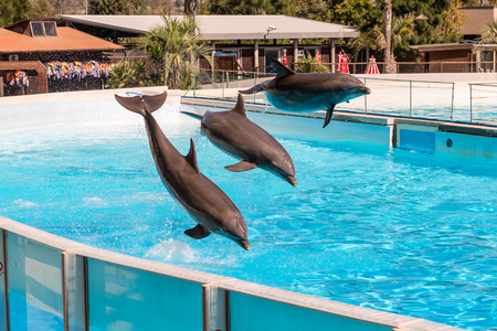 Three beautiful dolphins jumping in a swimming pool showing their acrobatic abilities 版權商用圖片