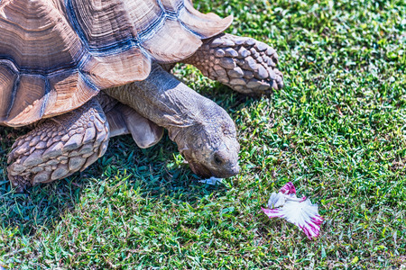 African spurred tortoise also known as sulcata tortoise, land turtle seen while eating chicory on the grass Фото со стока