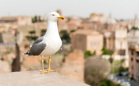 Closeup of a seagull with Rome city centre as background, Italy Фото со стока