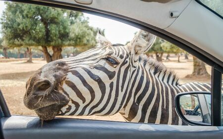 Hungry zebra waiting for food through a car window at the zoo