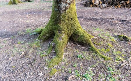 Tree roots covered with moss. Concept for autumn season
