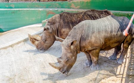 A couple of rhinos waiting for food at the zoo Stock fotó