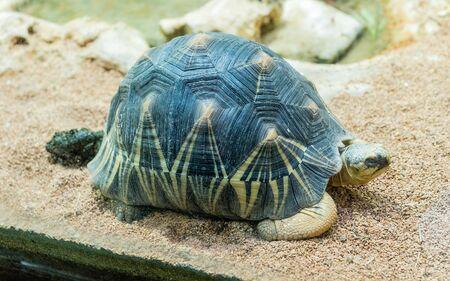 Die Strahlenschildkröte, endemische Schildkröte aus dem Süden Madagaskars in einer Zooparkumgebung