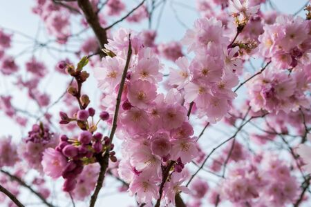 One brief season moment in spring time is the blooming of sakura tree. Banco de Imagens - 145968543