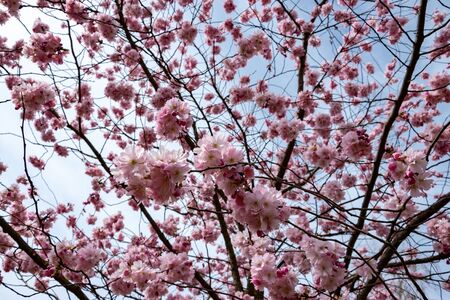 One brief season moment in spring time is the blooming of sakura tree. Banco de Imagens - 145968545