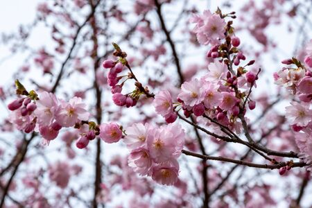 One brief season moment in spring time is the blooming of sakura tree. Banco de Imagens - 147491165