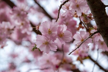 One brief season moment in spring time is the blooming of sakura tree. Banco de Imagens - 147491167