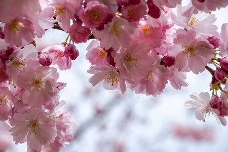 One brief season moment in spring time is the blooming of sakura tree. Banco de Imagens - 147491169