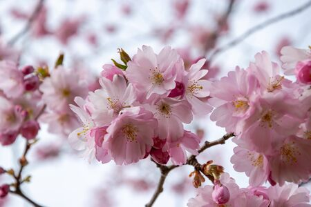 One brief season moment in spring time is the blooming of sakura tree. Banco de Imagens - 147491170