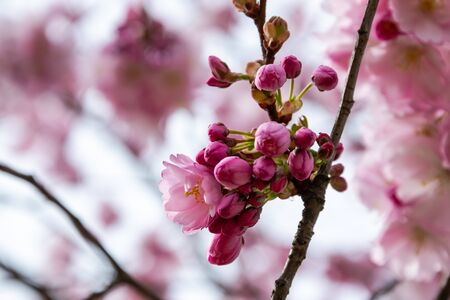 One brief season moment in spring time is the blooming of sakura tree. Banco de Imagens - 147491171