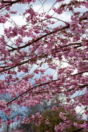 One brief season moment in spring time is the blooming of sakura tree. Banco de Imagens - 147491172