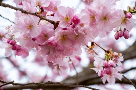 One brief season moment in spring time is the blooming of sakura tree. Banco de Imagens - 147491174