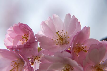 One brief season moment in spring time is the blooming of sakura tree. Banco de Imagens - 147491175