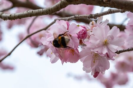 Bee is searching for nectar in blooming sakura flowers. One brief season moment in spring. Banco de Imagens - 147491193