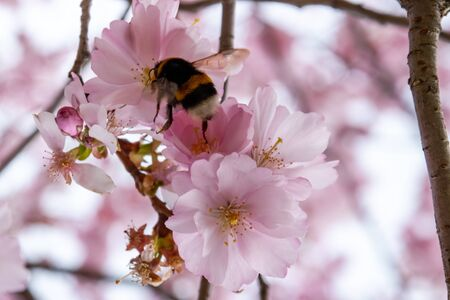 Bee is searching for nectar in blooming sakura flowers. One brief season moment in spring. Banco de Imagens - 145747749