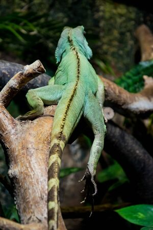 The back of the colourful exotic iguana resting in the zoo. Banco de Imagens