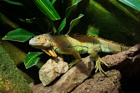 The colourful exotic iguana is hiding in the green grass. Banco de Imagens - 146986621