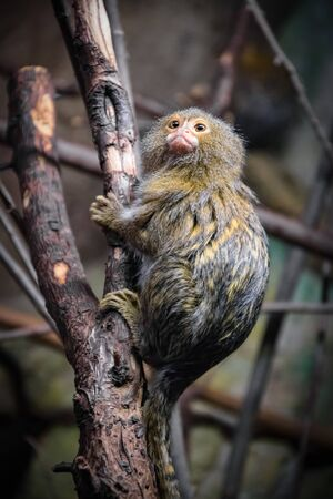Tiny, lovely and very cute monkey is sitting on the tree branch. Wild animal is isolated in the zoo.