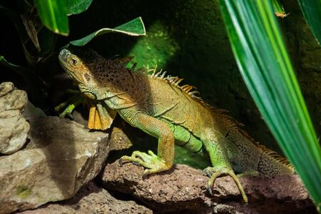 The colourful exotic iguana is hiding in the green grass. Banco de Imagens - 146986624