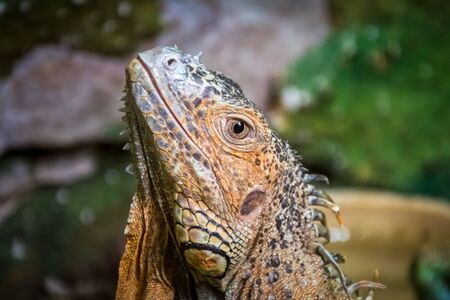 Colourful exotic iguana is posing with raised head and staring. Banco de Imagens - 146986690