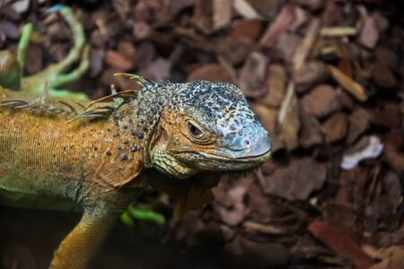 Close up of the colourful exotic iguana. Harsh and engaged eye. Banco de Imagens