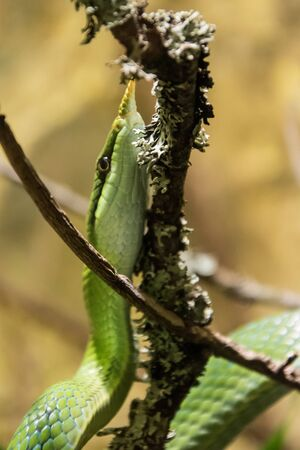 A small and unusual green snake with a sharp nose, crawling up the branch. Banco de Imagens