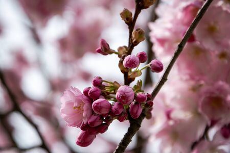 One brief season moment in spring time is the blooming of sakura tree. Banco de Imagens - 146986699