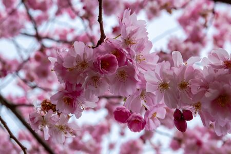 One brief season moment in spring time is the blooming of sakura tree. Banco de Imagens - 146986700