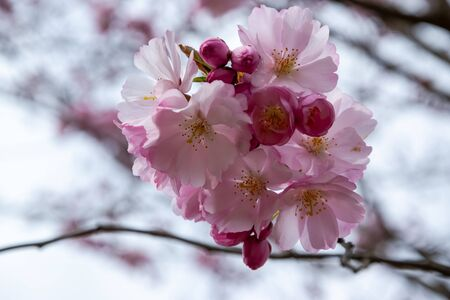 One brief season moment in spring time is the blooming of sakura tree. Banco de Imagens - 146986701