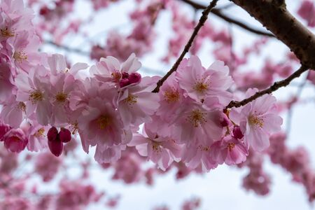 The sakura tree is blooming with beautiful colours in spring. Soft, gentle and elegant sakura flowers on the branches.