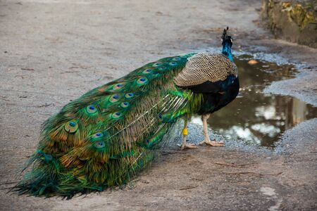 Peacock with long beautiful tail free walking in the zoo.