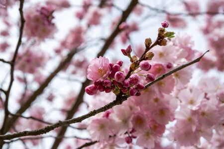 One brief season moment in spring time is the blooming of sakura tree. Banco de Imagens - 145933168