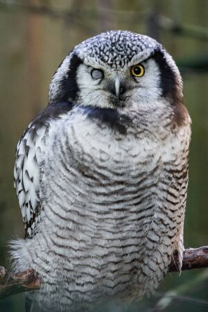 Wild snow owl with one sore eye is looking at camera.