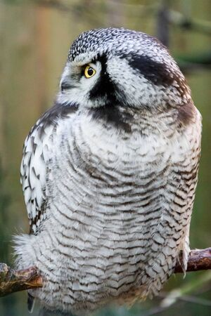 Snow owl with yellow eye sitting and looking somewhere to the side.
