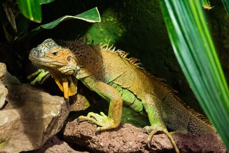 The colourful exotic iguana is hiding in the green grass. Banco de Imagens