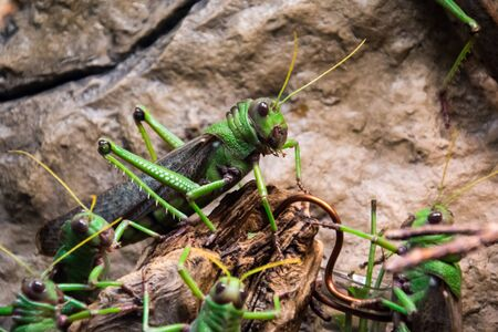 Huge green grasshopper sitting in group of other grasshoppers as a leader.