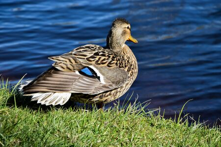 Closeup photo of a duck standing near the river in a sunny day