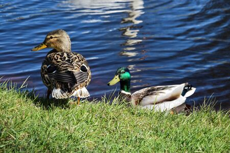 Different coloured ducks are resting on and near the river in a sunny day.