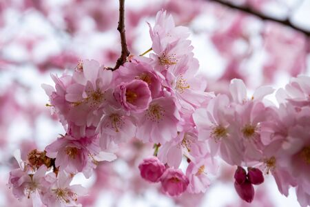 One brief season moment in spring time is the blooming of sakura tree. Banco de Imagens - 147050604