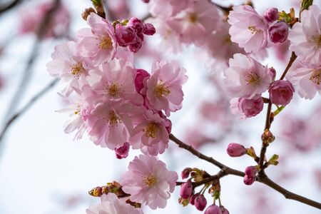 One brief season moment in spring time is the blooming of sakura tree. Banco de Imagens - 147050540