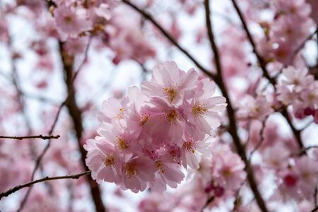 One brief season moment in spring time is the blooming of sakura tree. Banco de Imagens - 147053118