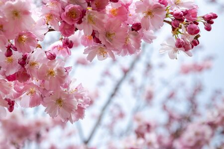 One brief season moment in spring time is the blooming of sakura tree. Banco de Imagens - 147053263