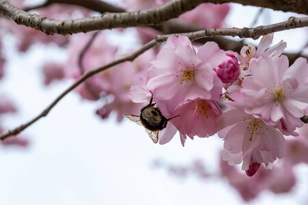 Bee is searching for nectar in blooming sakura flowers. One brief season moment in spring. Banco de Imagens - 147053046